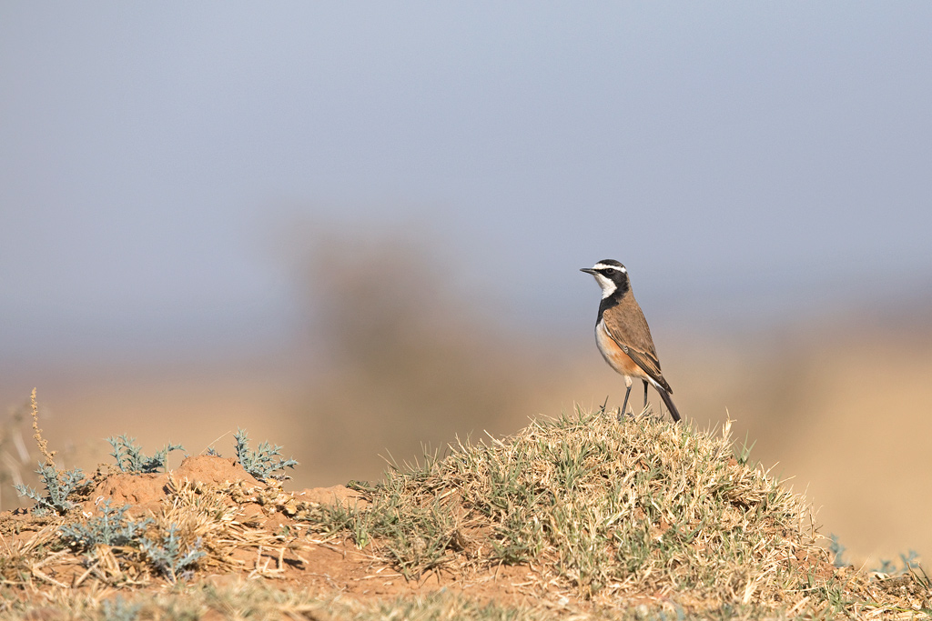 A Capped Wheatear stands tall next to its nest on the baron plains of Kgomo Kgomo.