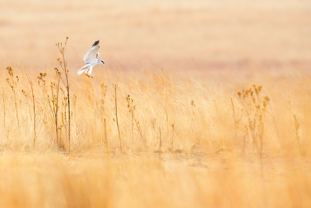 A sub-adult Black-shouldered Kite practices hunting over the grasslands of south east Gauteng, South Africa
