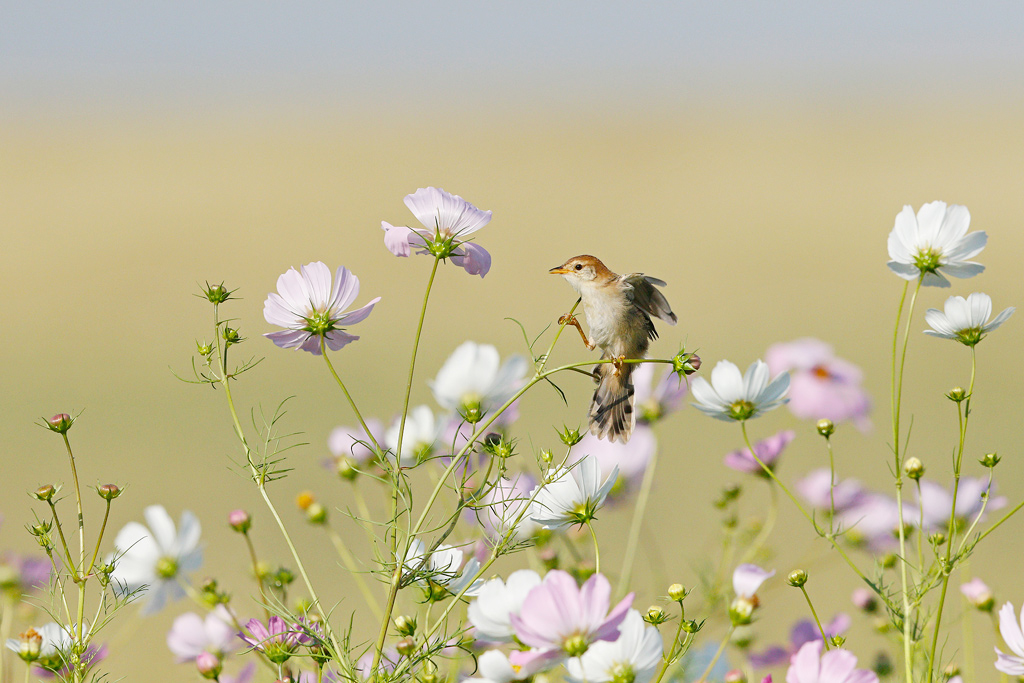 """Cisticola in the Cosmos"" ~ A Leveillant's Cisticola sings his heart out in the Cosmos of Devon's Farmlands."