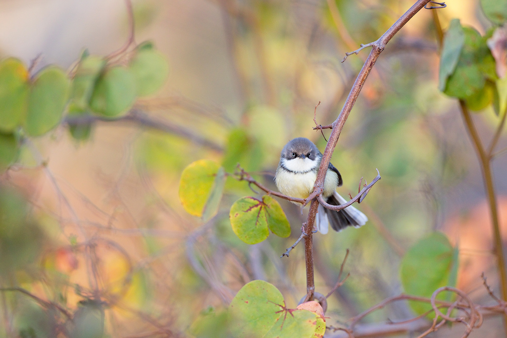 A Bar-throated Apalis perches momentarily in its broad-leafed woodland habitat in the Waterberg, South Africa