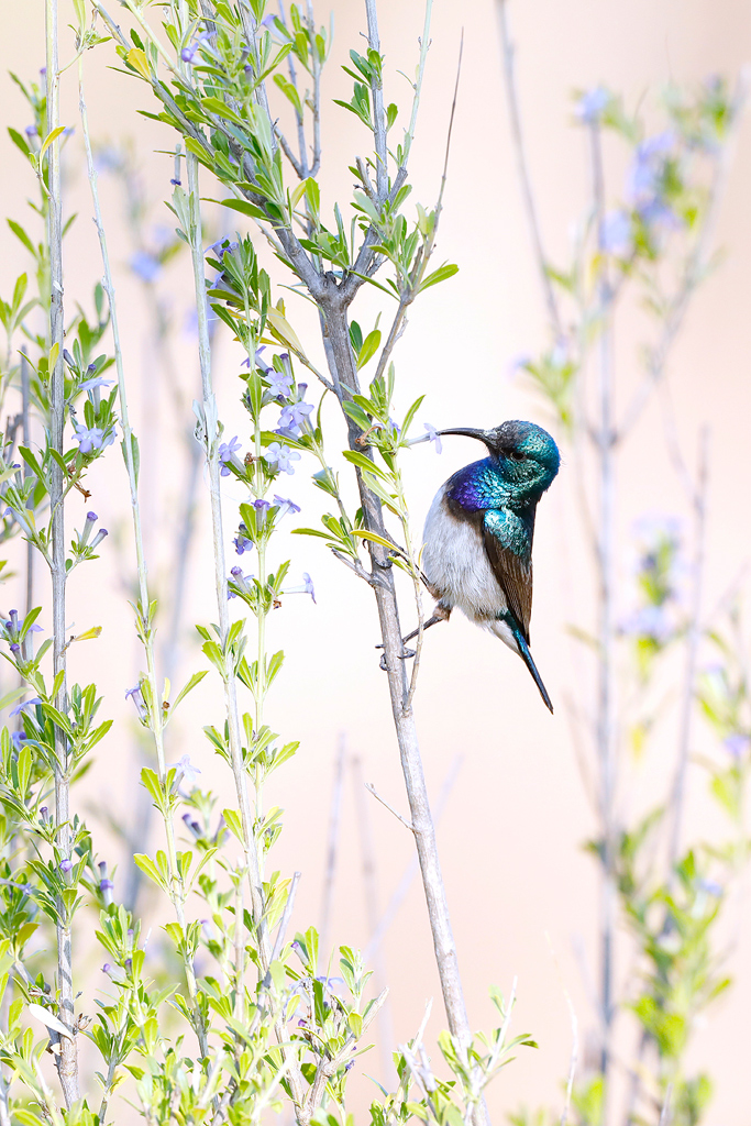 A petite White-bellied Sunbird feeds on the nectar of a tiny, blue flower in the Waterberg biosphere, South Africa.