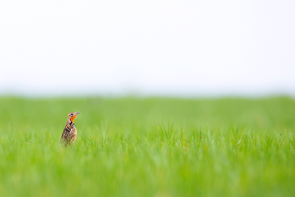 A Rosy-throated Longclaw stands alert in his grassland paradise at the Nebila Peninsula near Hluhluwe, KwaZulu Natal.