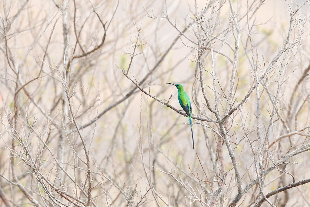 An exquisite Malachite Sunbird blending in to the hilltop tangles at Giant's Castle in the Drakensberg.