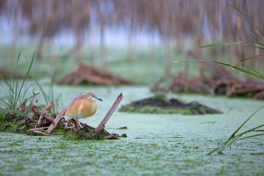 """Motionless"" ~ A Squacco Heron sits motionless while fishing in a wetland channel at Marievale Bird Sanctuary, Gauteng, South Africa."