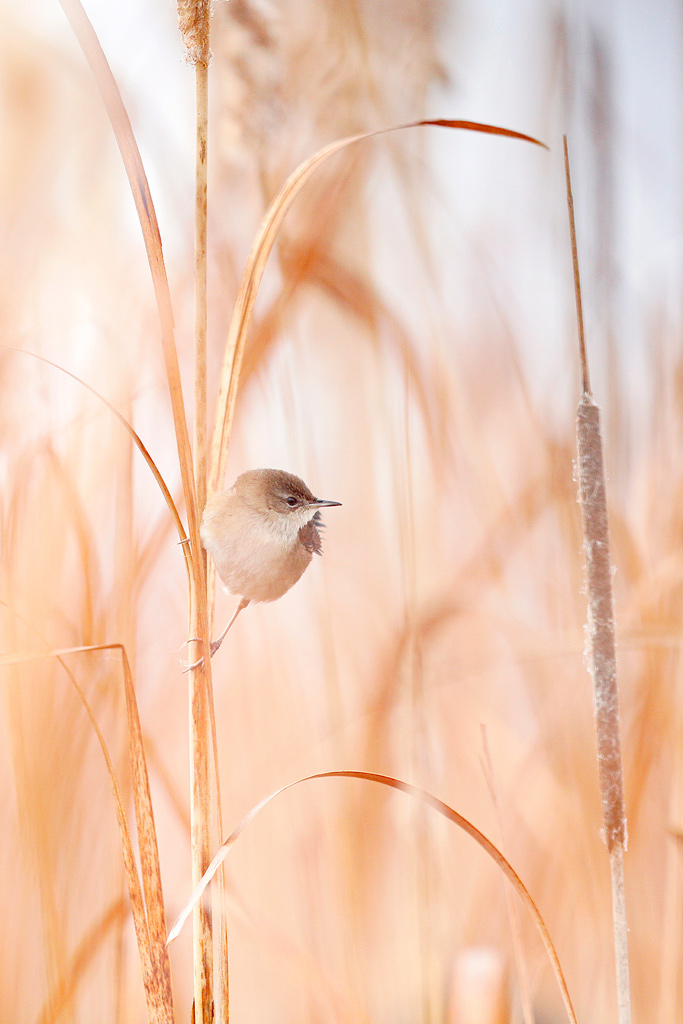 A Lesser Swamp Warbler sits amongst tall reeds on the edge of a wetland at Marievale Bird Sanctuary.