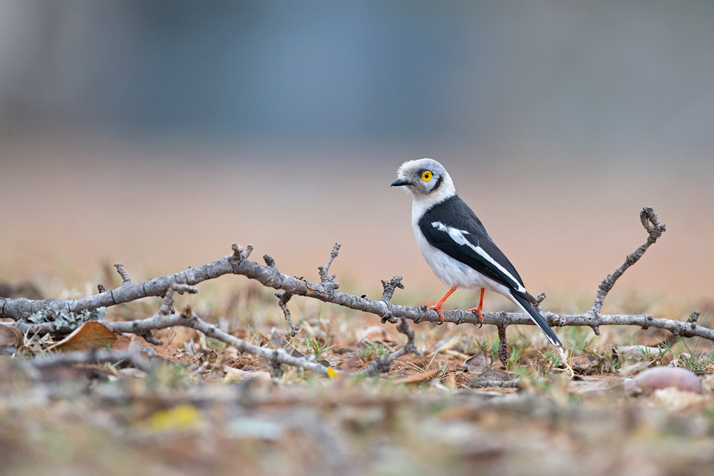 A White-crested Helmetshrike forages for food near the reception area of Mantuma Camp, Mkhuze Game Reserve, South Africa