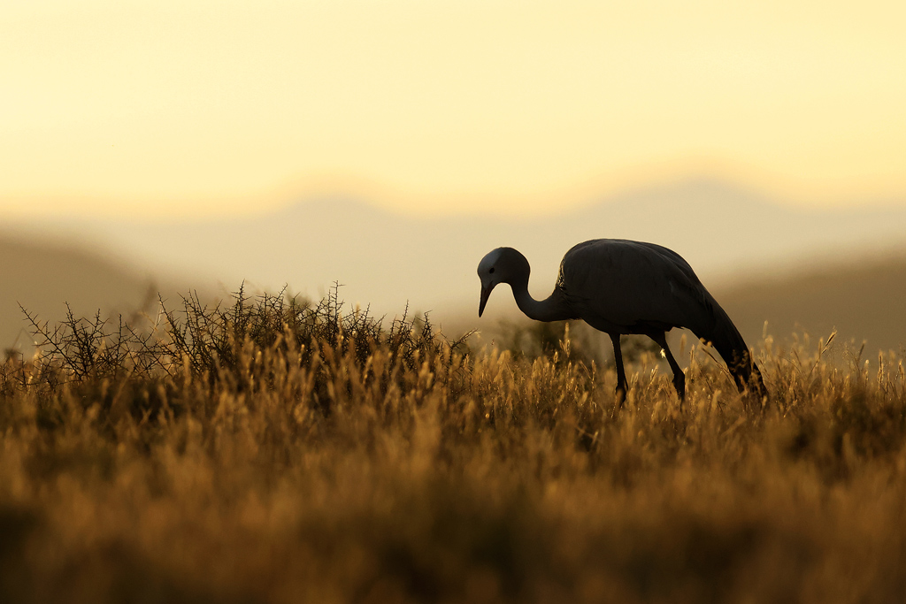A Blue Crane forages in an open Karoo plain at Mountain Zebra National Park, Eastern Cape, South Africa.