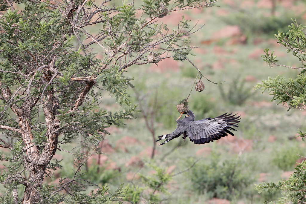 An African Harrier Hawk (or Gymnogene) raids a weaver's nest in search of eggs or chicks at Nambiti Game Reserve, South Africa.