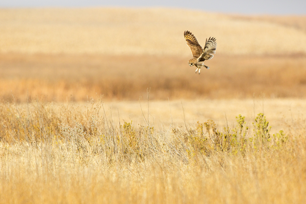 A Marsh Owl hunts over his grassland habitat on the farm roads near the town of Devon, south east Gauteng, South Africa