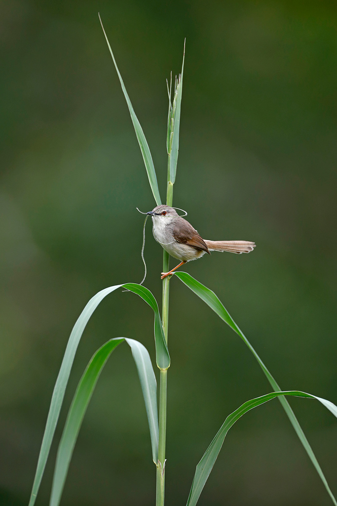 A Tawny-flanked Prinia collects nesting material in his thick grass and reed environment at Umndoni Golf Course, KwaZulu Natal, South Africa.