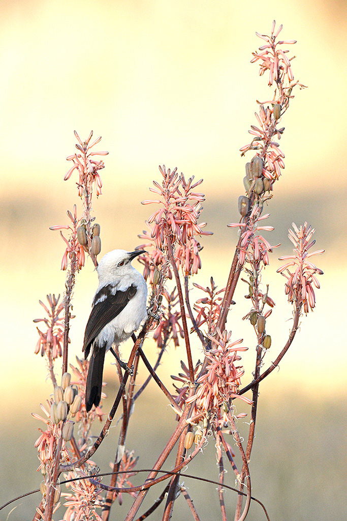 """Sunbird Babbler"" ~ A Pied Babbler tries to be a sunbird amongst flowering succulents in the Dinokeng Nature Reserve."