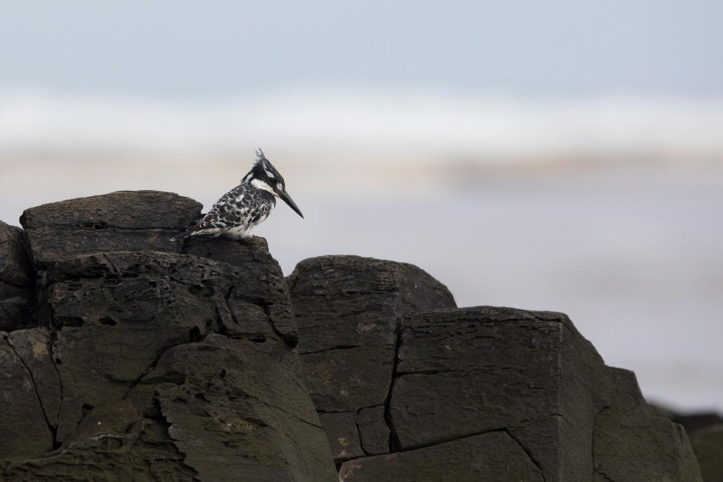 A Pied Kingfisher fishing from his favourite, rocky perch on the east coast of South Africa.