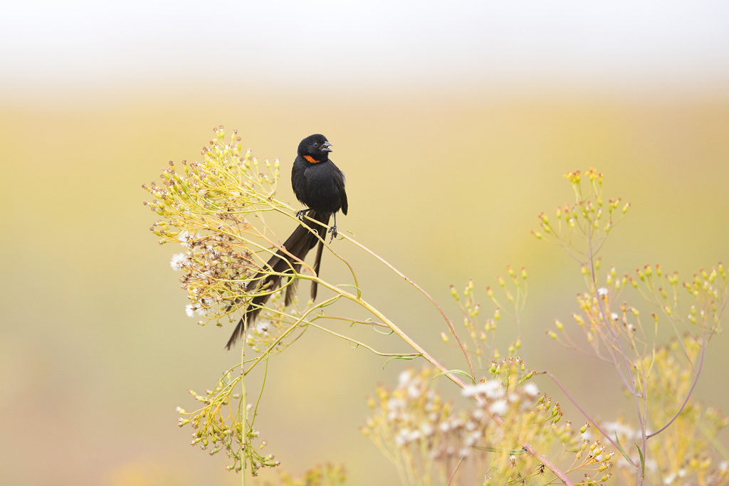 A Red-collared Widowbird calls from his carefully selected perch in the high altitude grasslands of Rietvlei Nature Reserve.