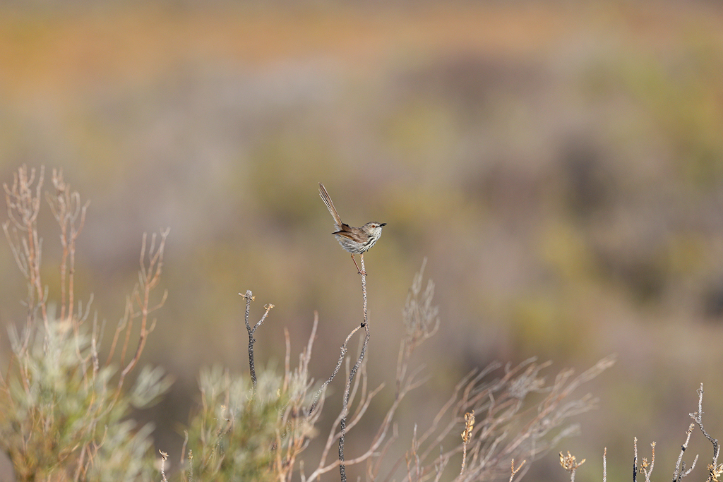 A Karoo Prinia stands tall amidst the open Karoo plains near Prince Albert, Western Cape, South Africa.