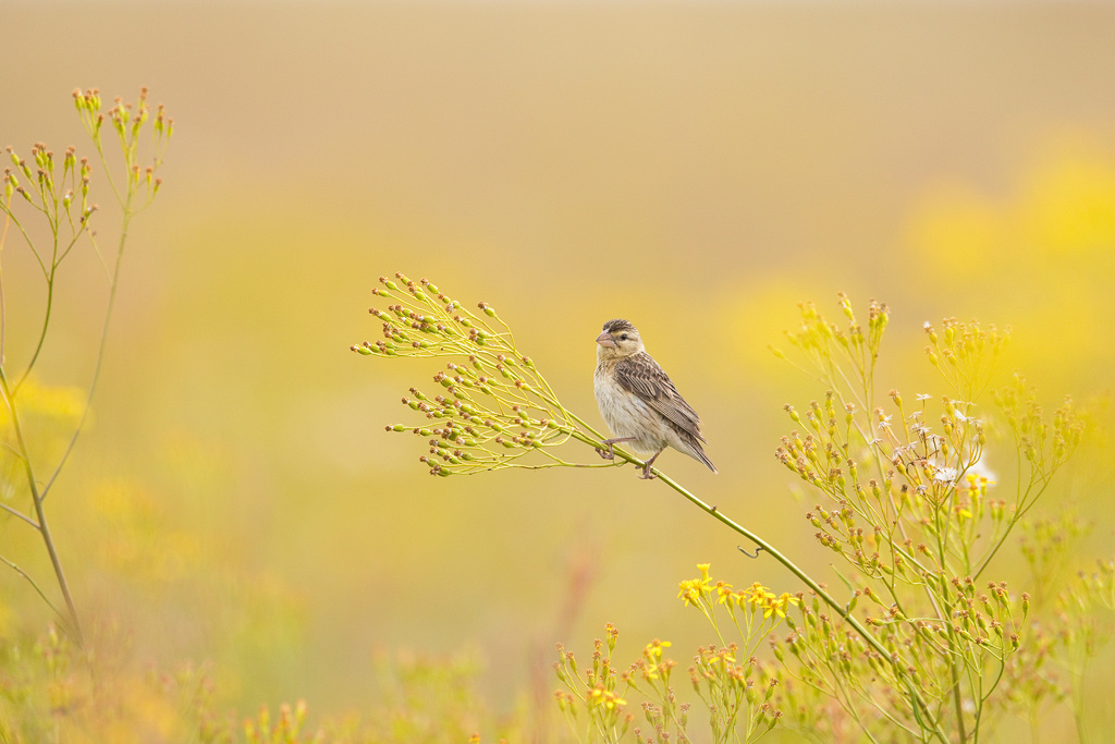 "A female, Cuckoo Finch in her ""cisticola rich"", grassland habitat."