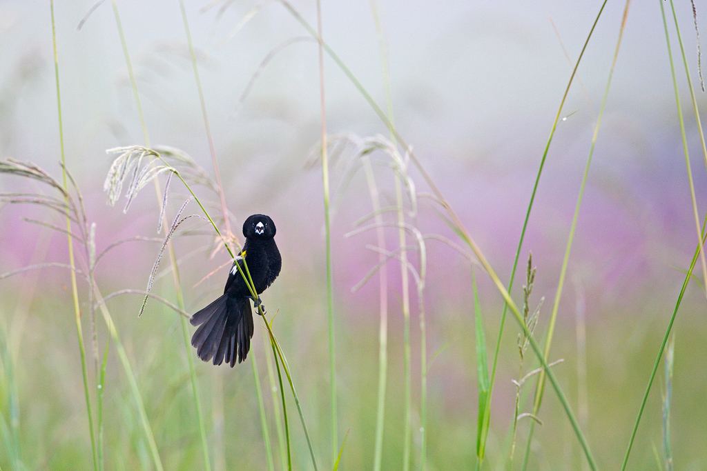 A White-winged Widowbird calls and fans his tail to attract attention at Rietvlei Nature Reserve, Gauteng, South Africa
