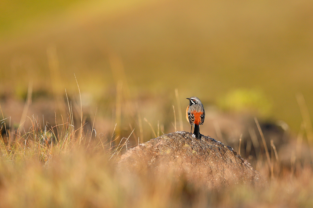 A male, Drakensberg Rockjumper stands in his typical, upright stance on a moss covered boulder in early morning light.