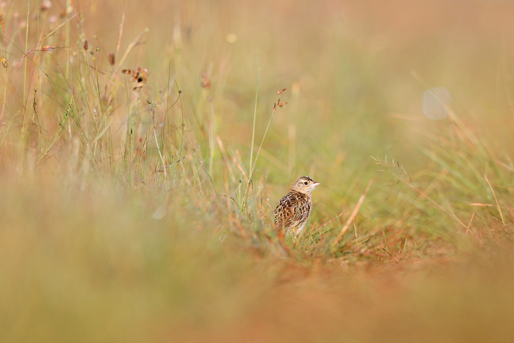 An endangered, Rudd's Lark steps out onto a grass track in the middle of his dense, dew-filled, grassland habitat.