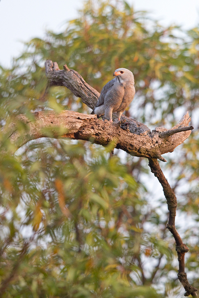A Lizzard Buzzard, with a lizzard in his talons, sits in his typical broad-leaved woodland habitat