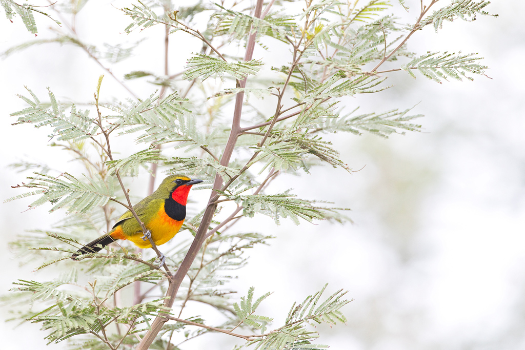 A Gorgeous Bushshrike delivers his teltale call at Tala Game Reserve near Pietermaritzburg, South Africa