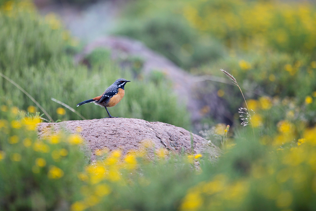 A striking, male Drakensberg Rockumper standing characteristically on a rock amongst a field of beautiful, yellow flowers.