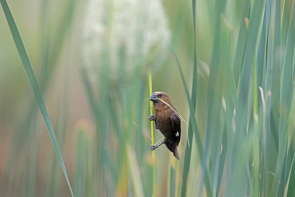"""Busy Builder"" ~ A male, Thick-billed Weaver building its nest in typical reedbed habitat, close to water."
