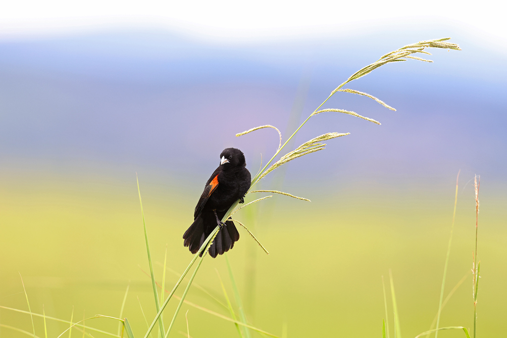 A Fan-tailed Widowbird struts his stuff for any nearby females at Thurlow Game Reserve, South Africa
