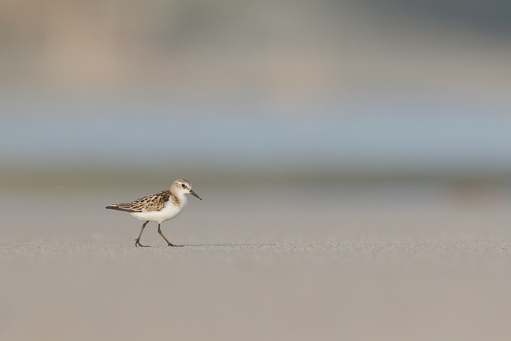 A Little Stint patrols the beach front at Umngazi River Bungalows in the Eastern Cape.