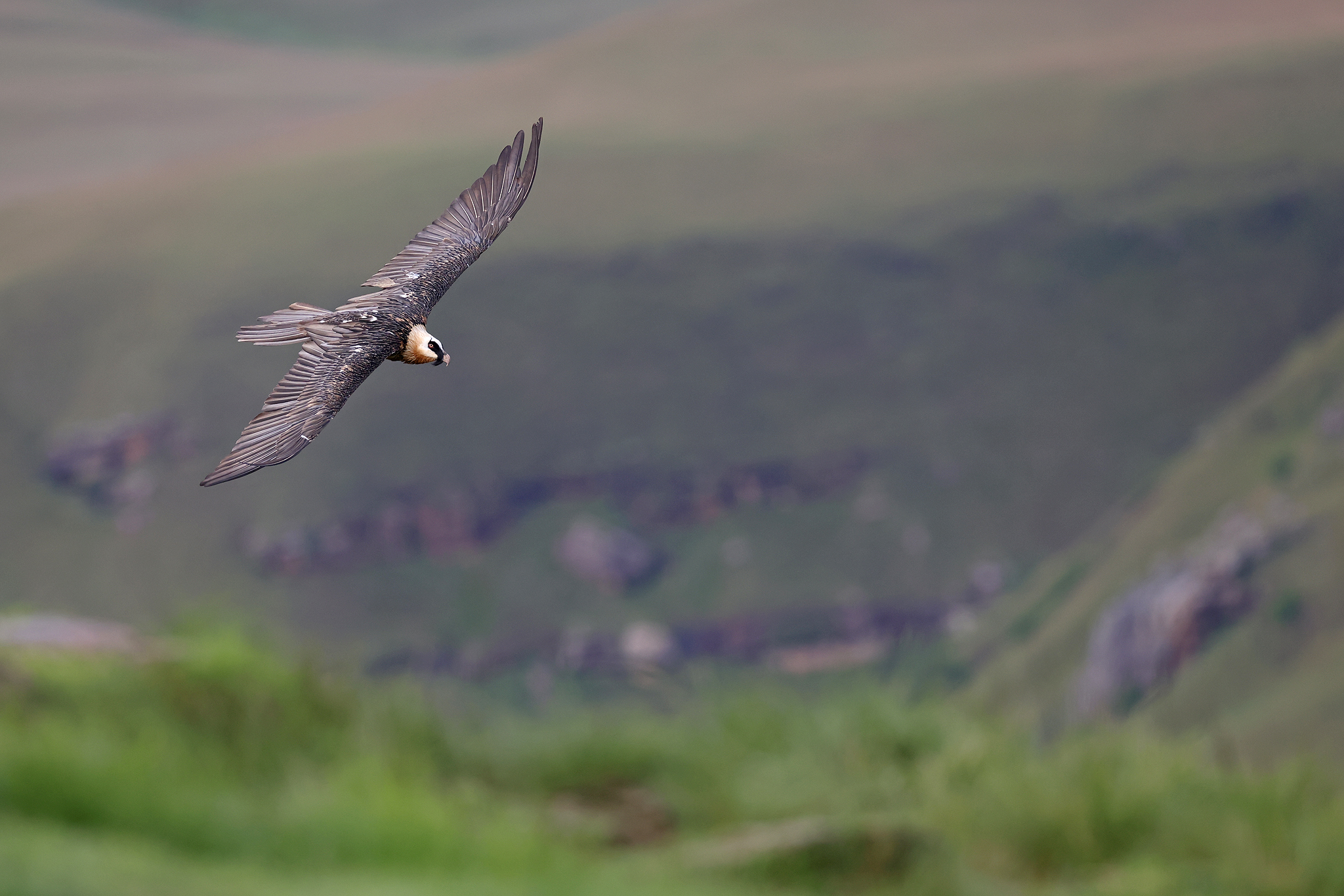 A Bearded Vulture glides over the Drakensberg mountains at Giant's Castle, KwaZulu Natal, South Africa