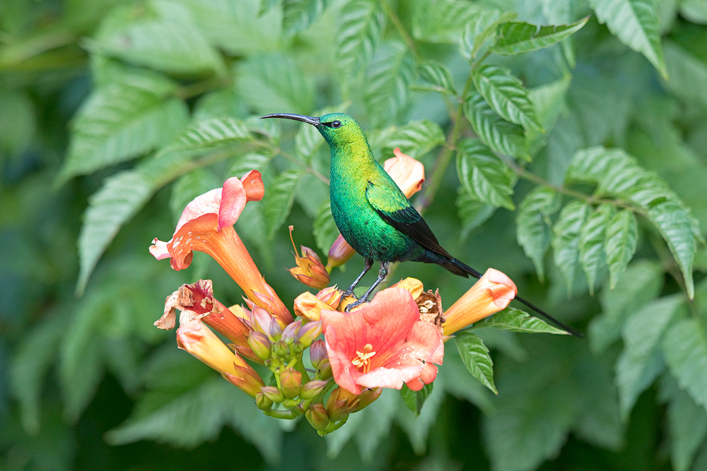 A male, Malachite Sunbird helps himself to nectar in a Wakkerstroom garden.