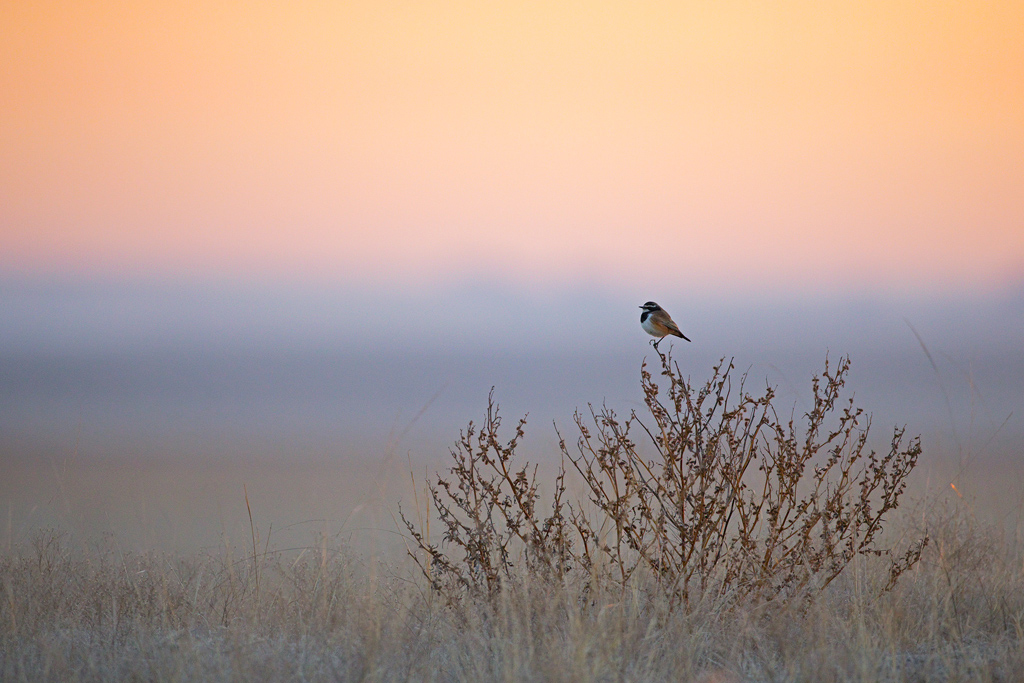 A Capped Wheatear watches the sun rise over his winter, farmland habitat near the town of Devon, south east Gauteng, South Africa