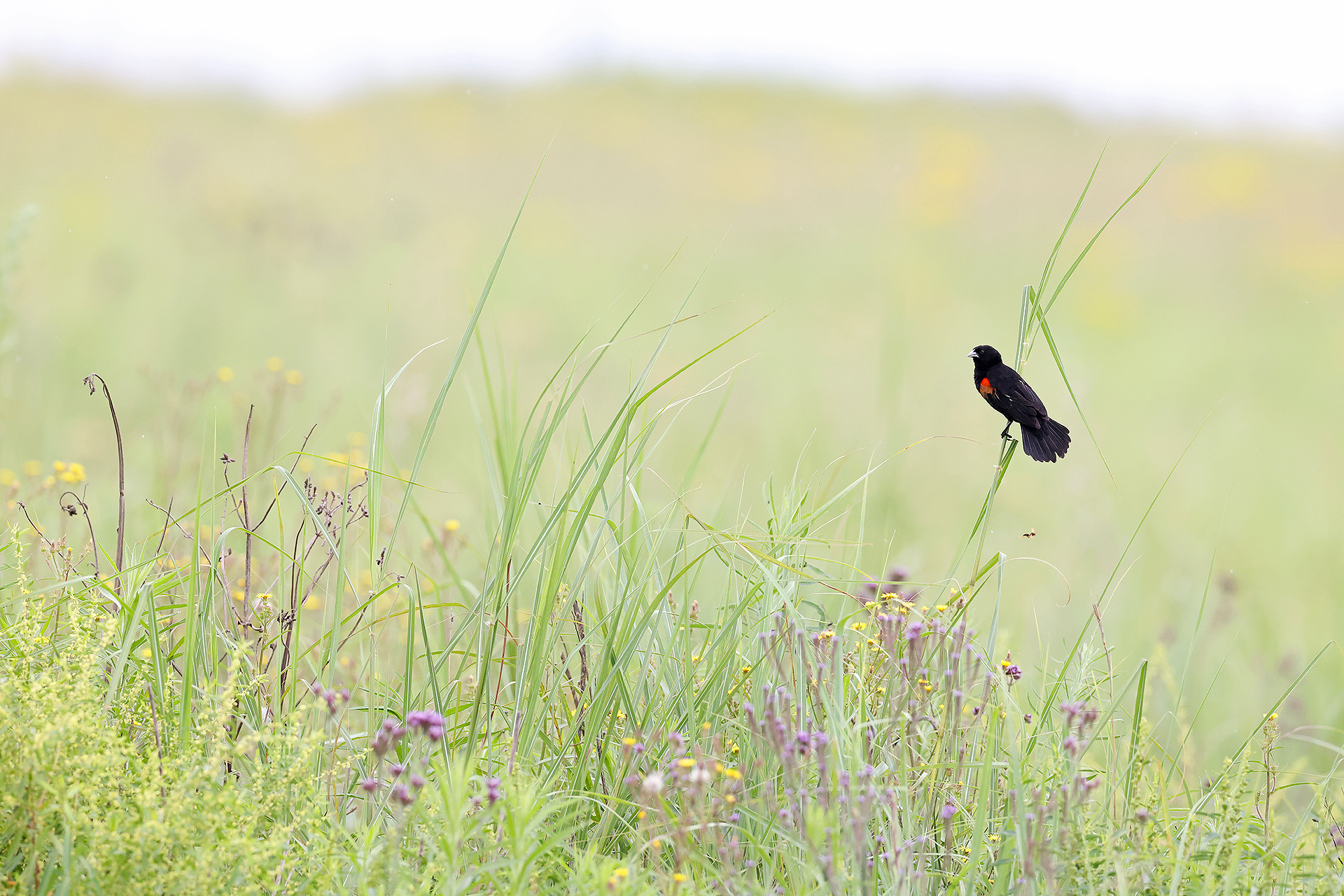 A Fan-tailed Widowbird perches in a field of wild flowers at Thurlow Nature Reserve, Natal Midlands, South Africa.