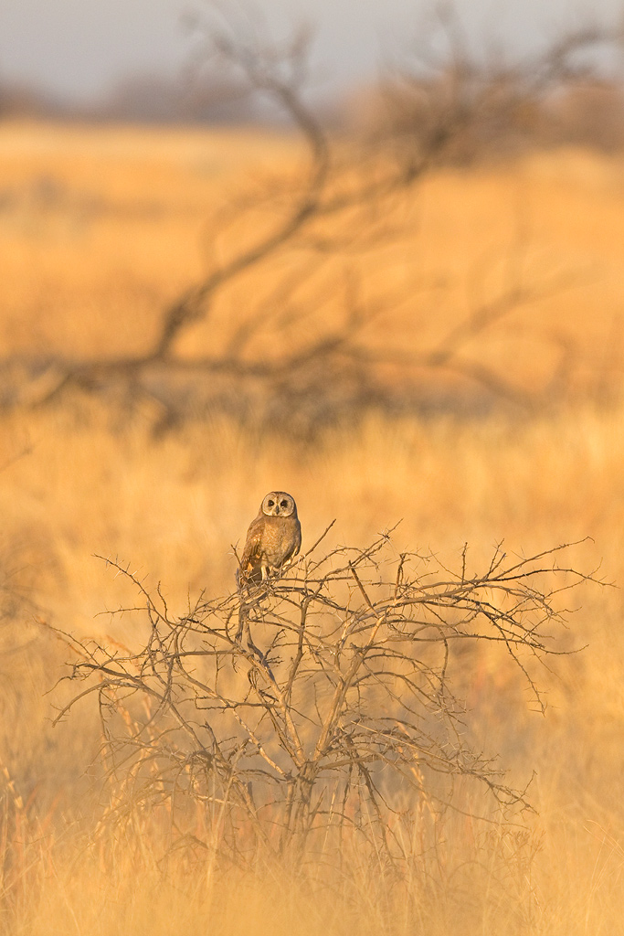 A Marsh Owl looks out across his bushveld habitat at the start of the Zaagkuildrift to Kgomo Kgomo birding route.