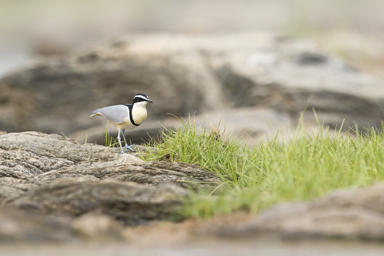 An Egyptian Plover stands alert on the banks of the Benoue River in Cameroon.