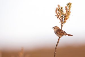 Top Bird Photographer / Grey-backed Cisticola / Vrisch Gewagt Olive Farm, Prince Albert, Western Cape, South Africa