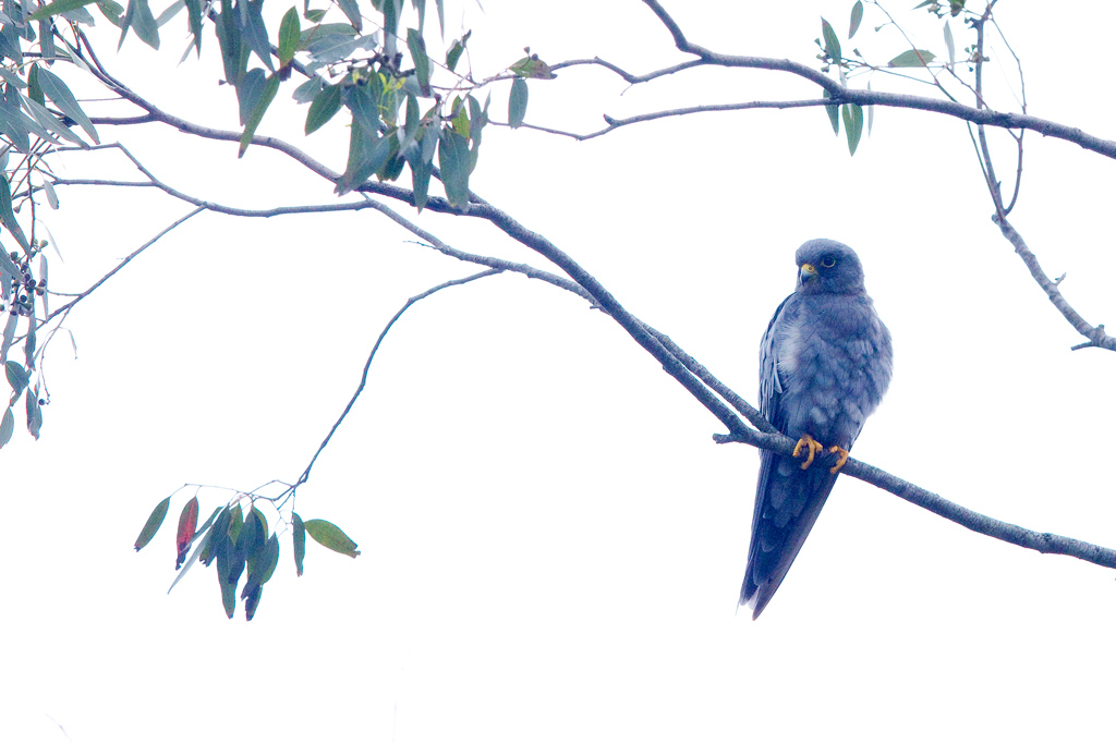 Sooty Falcon / Mbawane (near St Lucia), KwaZulu Natal, South Africa / January 2018