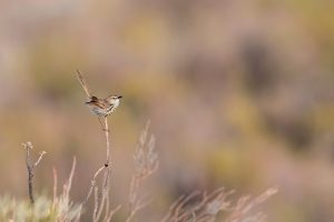 Top Bird Photographer / Karoo or Spotted Prinia / Vrisch Gewagt Olive Farm, Prince Albert, Western Cape, South Africa
