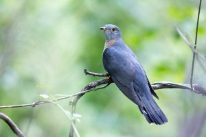 Bird Photographer / Red-chested Cuckoo / Walter Sisulu Botanical Gardens, Roodepoort, SA