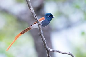 Top Bird Photographer / 2019-04-21 / African Paradise Flycatcher / Hluhluwe Game Reserve, KZN, South Africa
