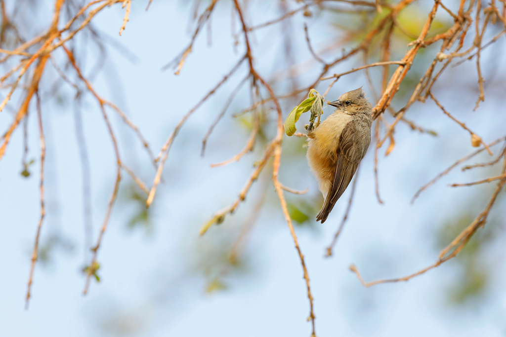 Grey Penduline Tit / Lindani Game Farm, Waterberg, South Africa / September 2019