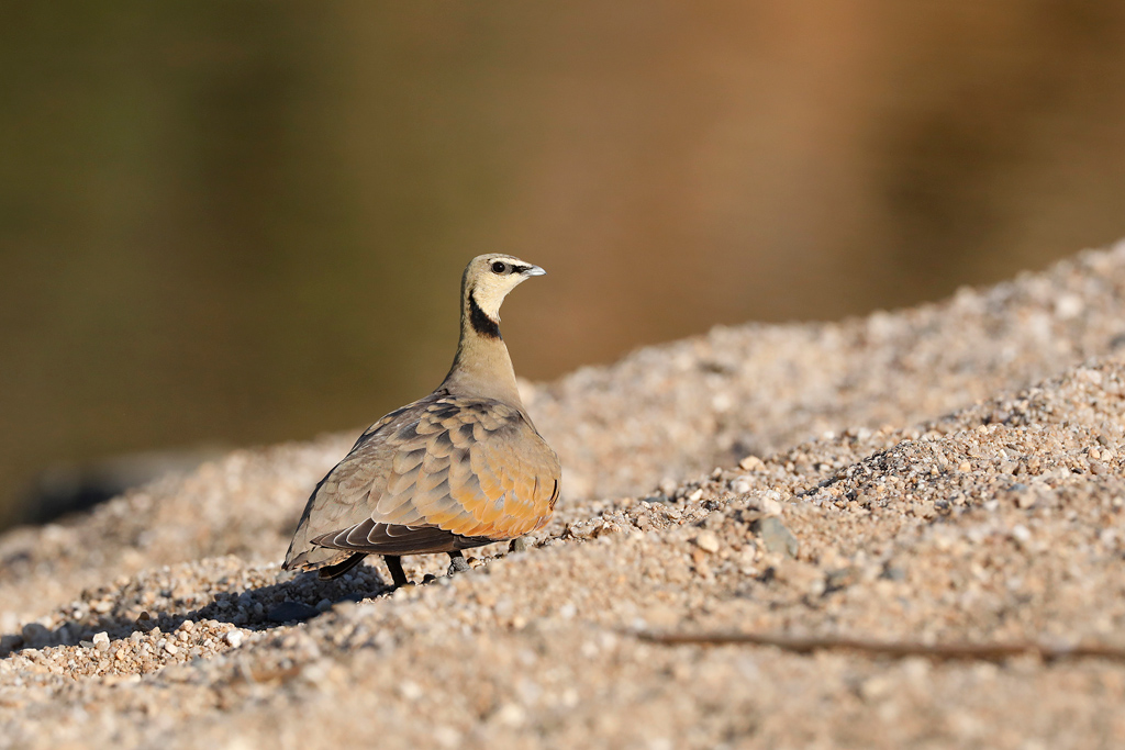 Yellow-throated Sandgrouse / Near Pilanesberg National Park, South Africa / 28 September 2019