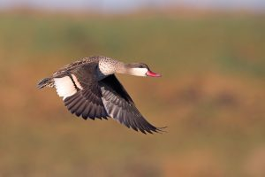 Bird Photography / Red-billed Teal / Zibula Colliery, South Africa