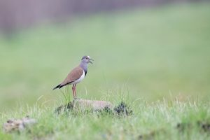 Top South African Photographer / Black-winged Lapwing / Mbona Nature Reserve, KwaZulu Natal