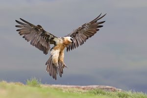 Top South African Bird Photographer / Bearded Vulture / Giant's Castle, South Africa