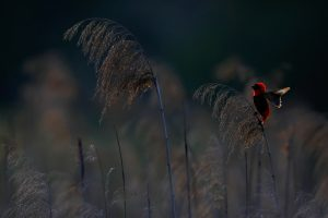Top South African Bird Photographer / Southern Red Bishop / Balgowan, KZN, South Africa
