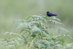 Blue Swallow / Roseland Nature Reserve, KZN, South Africa