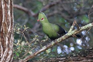 Knysna Turaco / Nature's Valley, WC, South Africa