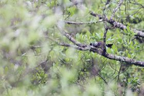 Eastern Bronze-naped Pigeon / Mbona Nature Reserve, KZN, South Africa / October 2021
