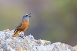 The African Birder / Cape Rock Thrush / Giant's Castle, KZN, South Africa