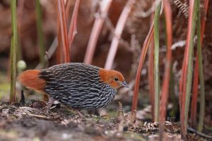 The African Birder / Striped Flufftail / Mbona Nature Reserve, Karkloof , KZN, South Africa